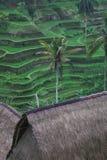 Terrazzi del riso di Tegallalang in Ubud Bali Immagini Stock Libere da Diritti