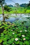 Terrazzi del riso e di Lily Pond Fotografia Stock Libera da Diritti