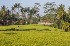 Terrazzi del riso e fondo verdi degli alberi e delle case del cocco in Ubud, isola Bali, Indonesia Fotografia Stock
