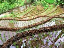 Terrazzi del riso in Java, Indonesia Immagine Stock