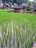 Terrazzi del riso in Java, Indonesia Fotografia Stock Libera da Diritti