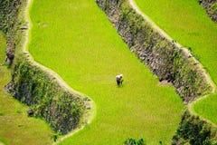 Terrazzi del riso nelle Filippine Coltivazione del riso nel Nord Fotografia Stock Libera da Diritti