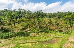 Terrazzi del riso in Tegallalang, Ubud, Bali, Indonesia Immagini Stock Libere da Diritti