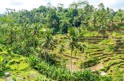 Terrazzi del riso in Tegallalang, Ubud, Bali, Indonesia Fotografie Stock Libere da Diritti