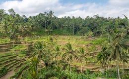 Terrazzi del riso in Tegallalang, Ubud, Bali, Indonesia Fotografie Stock