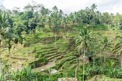 Terrazzi del riso in Tegallalang, Ubud, Bali, Indonesia Immagine Stock Libera da Diritti