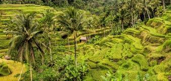 Terrazzi del riso vicino a Ubud, Bali, Indonesia Immagini Stock Libere da Diritti