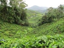 Terrazzi del tè in Cameron Highlands Immagini Stock Libere da Diritti