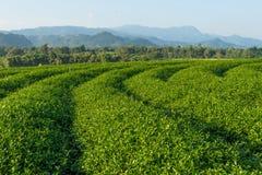 Terrazzi del tè verde sulla collina nella provincia di Chiang Rai, Tailandia Fotografia Stock
