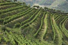 Terrazzi del vino Fotografia Stock