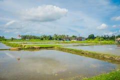 Terrazzi della terra sommersa, vicino al villaggio di Tegallalang in Ubud, Bali Indonesia Immagini Stock Libere da Diritti