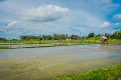 Terrazzi della terra sommersa, vicino al villaggio di Tegallalang in Ubud, Bali Indonesia Fotografia Stock Libera da Diritti