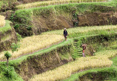 Terrazzi maturi del riso, Tegalalang, Bali, Indonesia Immagini Stock