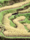 Terrazzi maturi del riso, Tegalalang, Bali, Indonesia Fotografia Stock