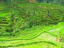 Terrazzi in Tegallalang, Bali, Indonesia del riso Fotografie Stock Libere da Diritti