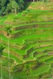 Terrazzi verdi del riso Fotografia Stock Libera da Diritti