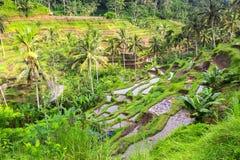 Terrazzi verdi del riso nell'isola di Bali agricoltura Fotografia Stock