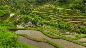 Terrazzi verdi del riso nell'isola di Bali agricoltura Fotografie Stock