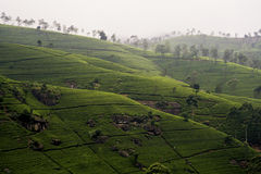 Terrazzi verdi del T nell'altopiano dalla Sri Lanka Fotografie Stock