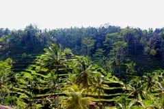 Terrazzo Bali del riso di Tegalalang fotografie stock libere da diritti