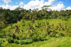 Terrazzo Bali Indonesia del riso di Tegalalang Immagine Stock