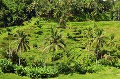 Terrazzo Bali Indonesia del riso di Tegalalang Fotografie Stock Libere da Diritti