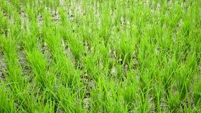 Terrazzo del giacimento del riso Vento di salto video d archivio