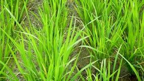Terrazzo del giacimento del riso Vento di salto stock footage