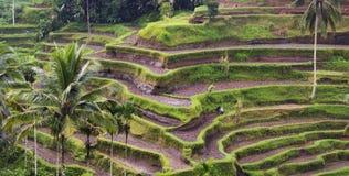 Terrazzo del riso Fotografia Stock Libera da Diritti