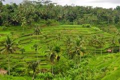 Terrazzo del riso in Bali Immagine Stock Libera da Diritti