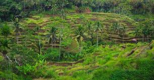 Terrazzo del riso, Bali, Indonesia Fotografia Stock Libera da Diritti