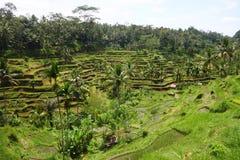 Terrazzo del riso a Bali, Indonesia Immagini Stock Libere da Diritti