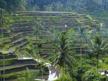 Terrazzo del riso in Bali, Indonesia Fotografie Stock Libere da Diritti