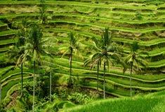 Terrazzo del riso di Balinese Fotografie Stock Libere da Diritti