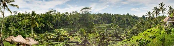Terrazzo del riso di panorama, Bali, Indonesia Fotografia Stock