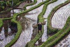 Terrazzo del riso di Tegallalang in Bali, Indonesia Fotografie Stock Libere da Diritti