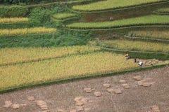 Terrazzo del riso nel Vietnam Fotografie Stock Libere da Diritti