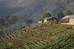 Terrazzo dell'azienda agricola della fragola sulla collina Immagini Stock Libere da Diritti