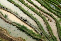 Terrazzo di Longji, il Guangxi, porcellana Immagine Stock Libera da Diritti