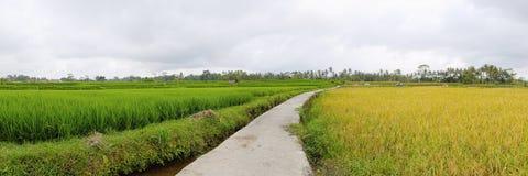 Terrazzo esotico del riso in Bali (panorama) Immagine Stock Libera da Diritti