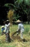 TERRAZZO UBUD TEGALLALANG DEL RISO DELL'ASIA INDONESIA BALI Immagine Stock Libera da Diritti