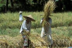 TERRAZZO UBUD TEGALLALANG DEL RISO DELL'ASIA INDONESIA BALI Immagini Stock Libere da Diritti