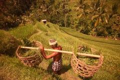 TERRAZZO UBUD TEGALLALANG DEL RISO DELL'ASIA INDONESIA BALI Fotografie Stock