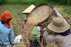 TERRAZZO UBUD TEGALLALANG DEL RISO DELL'ASIA INDONESIA BALI Immagine Stock
