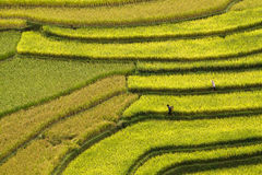 Terrced rice fields - gold terraced rice fields in Mu Cang Chai, Stock Images