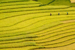 Terrced rice sätter in - besök för tre kvinnor som deras rice sätter in i Mu Cang Chai Arkivfoto