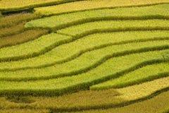Terrced rice sätter in - guld- terrasserad rice sätter in i Mu Cang Chai Royaltyfri Fotografi