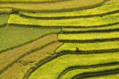 Terrced rice sätter in - guld- terrasserad rice sätter in i Mu Cang Chai, Arkivbilder