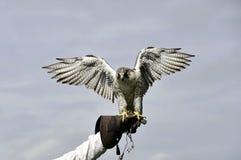 Terre del falco pellegrino sul guanto Fotografie Stock Libere da Diritti