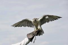 Terre del falco pellegrino sul guanto Fotografia Stock